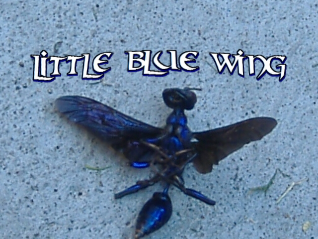 Blue Tarantula Hawk Wasp
